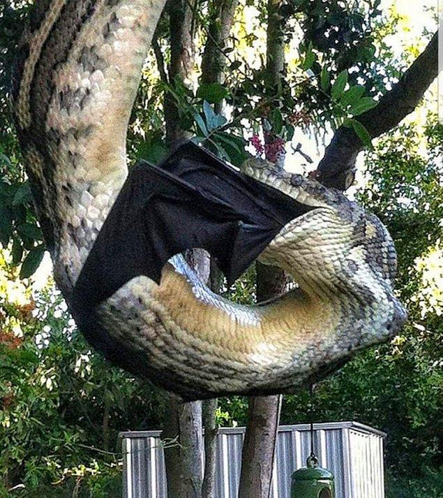 13. Devasa bir uçan tilkiyi (bir yarasa türünün adı) yiyen piton: