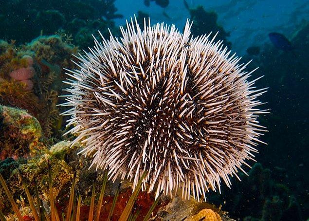 """3. Deniz kestanelerine """"deniz kestanesi"""" denmesinin sebebi, 15. yüzyıla kadar kirpilere """"kestane"""" denmesiydi."""