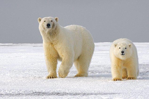 19. Hayatlarının çoğunu deniz buzulları üzerinde geçiren kutup ayıları, memeli deniz hayvanlarından sayılıyor.