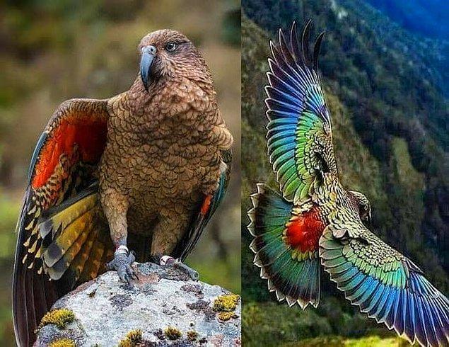 8. Dünya üzerinde bulunan tek dağ papağanı: