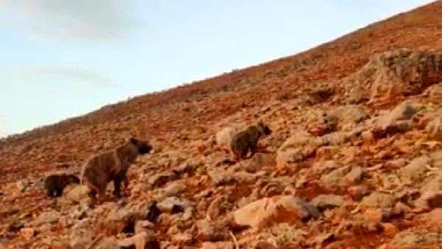 Koyun Sürüsüne Saldıran Ayıları Kangallar Uzaklaştırdı