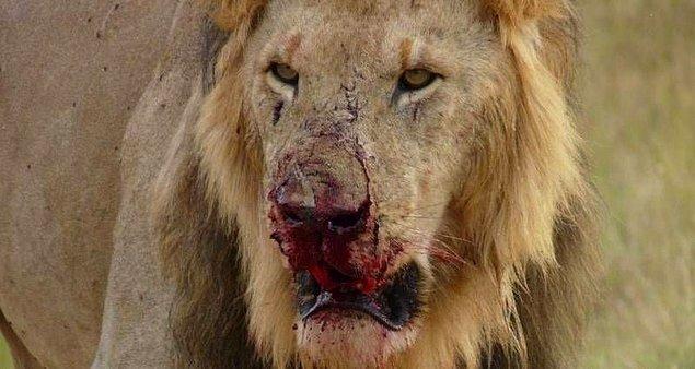 3. Aslanlar tarafından karşılanan kaçak avcılar