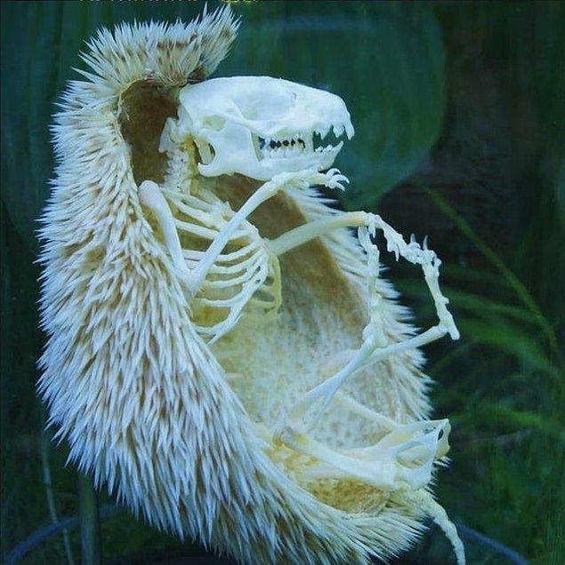14. Bir kirpinin iskeleti: