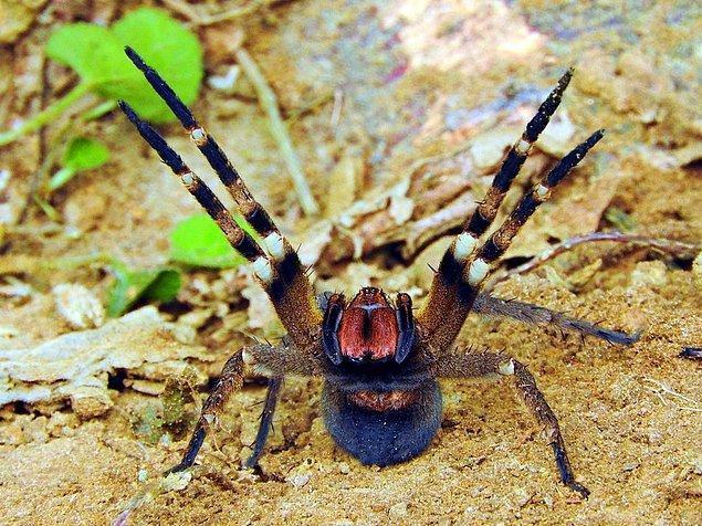 13. Brezilya gezgin örümceği