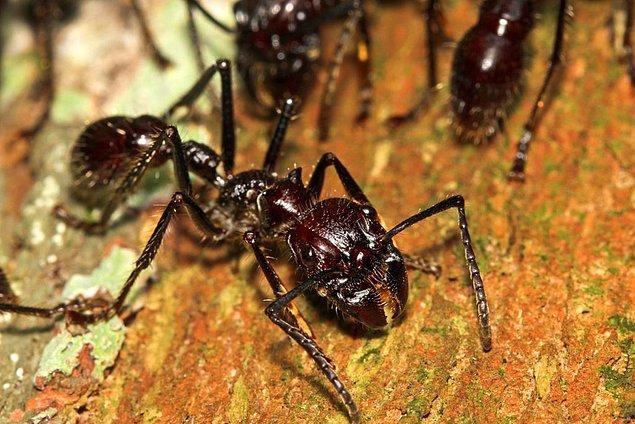 11. Kurşun karınca