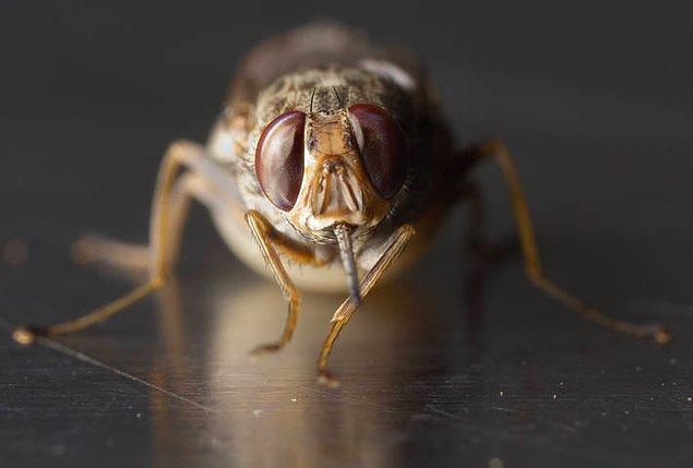 7. Çeçe sineği
