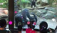 Hayvanat Bahçesinde Oral Seks Yapmaya Başlayan Goriller, Çocuklarıyla Gelen Velileri Panikletti