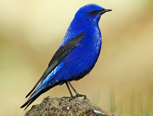 3. Himalaya Dağları'nda yaşayan dünyanın en canlı mavi rengine sahip Grandala kuşu: