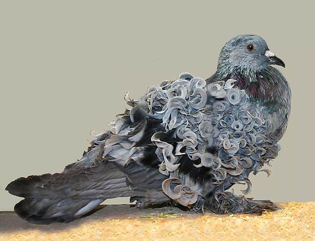 6. Daha önce hiç kıvırcık kanatlı güvercin görmüş müydünüz?