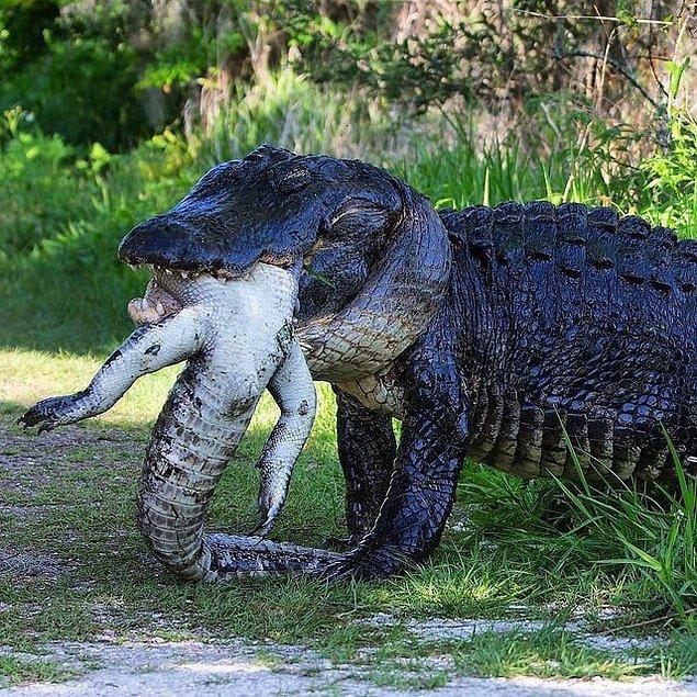 6. Rakibi olarak gördüğü başka bir timsahı gözünü bile kırpmadan yiyen timsah: