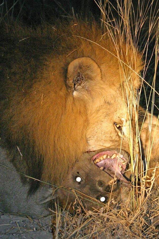 8. Erkek bir aslan tarafından saldırıya uğrayan sırtlanın son anları: