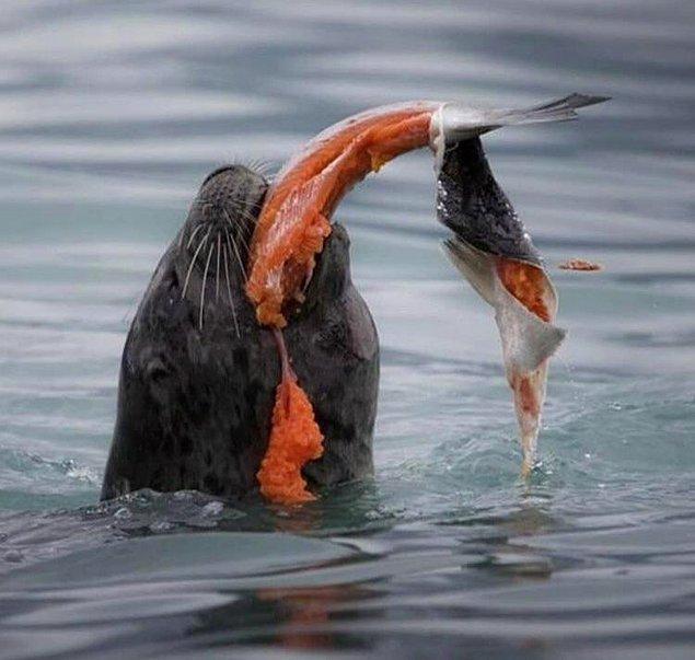 9. Avladığı somonun derisini sıyıran bir fok:
