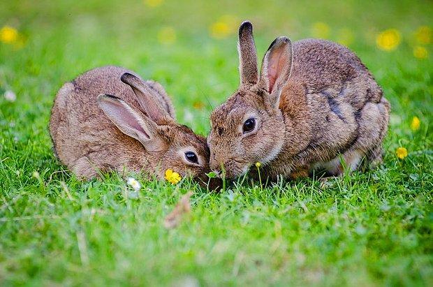 Tavşan!