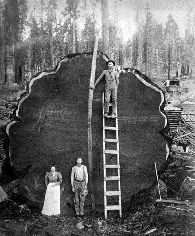1. Sizce bunun testereyle kesilmiş olması mı daha acayip yoksa ağacın boyutu mu?😱