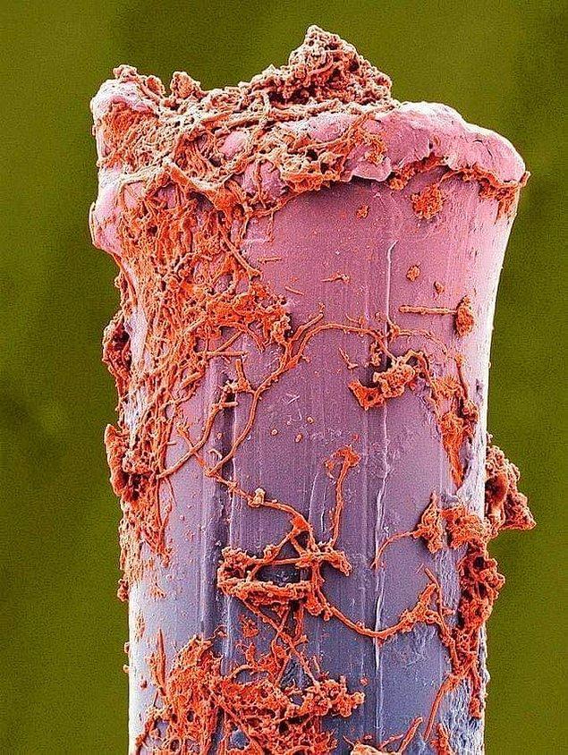 7. Bir elektron mikroskobu altındaki diş fırçasının kılları:
