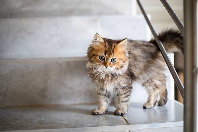 8. Mükemmel bir dengeye sahip olan kediler, her zaman patileri üzerine düşmezler. Vücutlarındaki arka kasları çalıştırarak dengeyi sağlarlar.