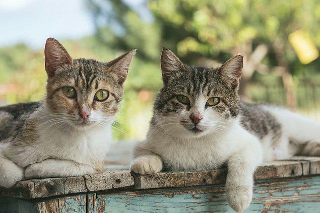 9. Her 200 kediden birinin asma hastalığına sahip olduğu söyleniyor. Özellikle ev kedilerinin maruz kaldığı sigara dumanı ve toz, kedinizin sağlığını tehlikeye sokuyor.