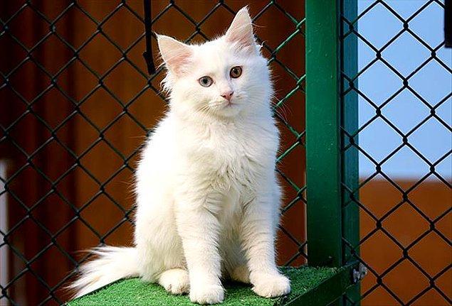 21. Suya girmekten korkmayan kedi cinsleri de var. Van kedisi, Maine Coon kedisi ve Bengal kedisi bunlardan bazıları.