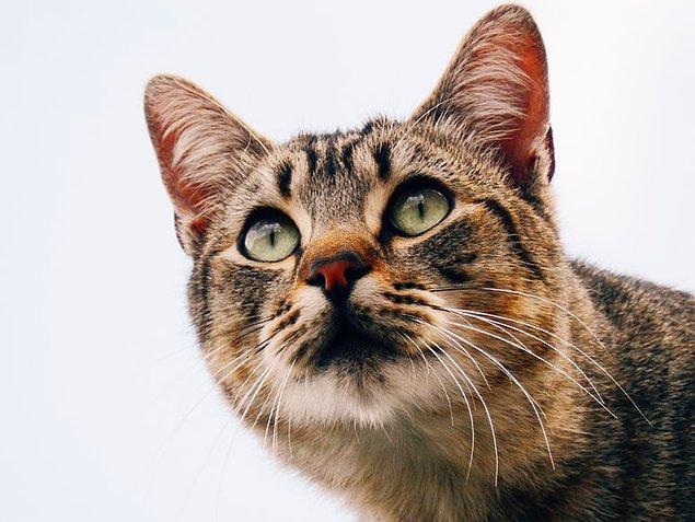 25. Kedilerin hayatları boyunca en sık yaptıkları aktivite uyumak ve kendilerini yalayarak temizlemektir.