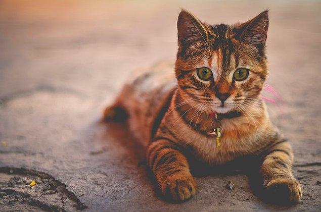 30. Kediler kendi boylarından beş katı yüksekliğe kadar zıplayabilirler.