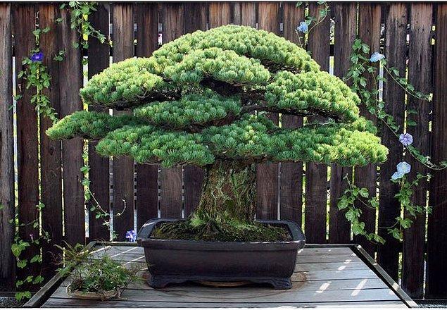 5. 396 yıllık bir bonsai bitkisi: