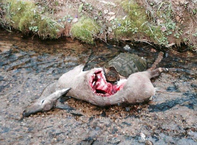 3. Bir geyik ölüsünü yiyen kaplumbağa: