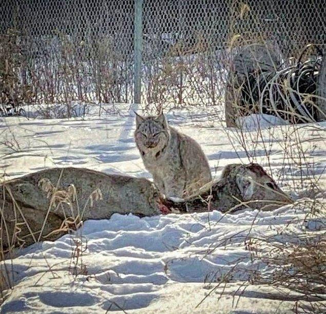 2. Kendi vücut ağırlığının 5 katındaki bir avı avlayabiliyormuş!😱