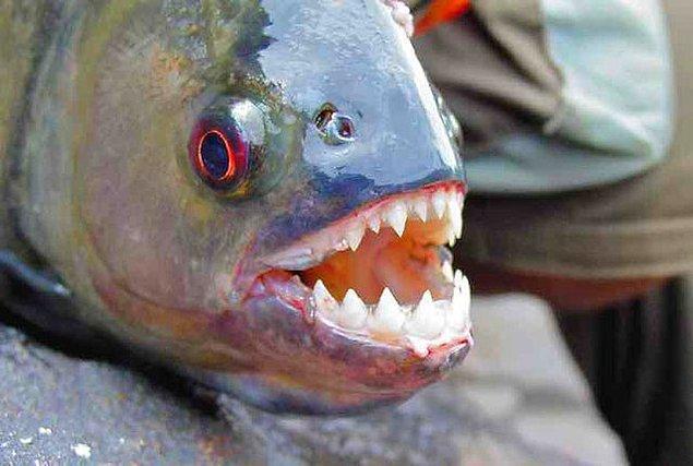 7. Bir pirananın ürkütücü dişleri: