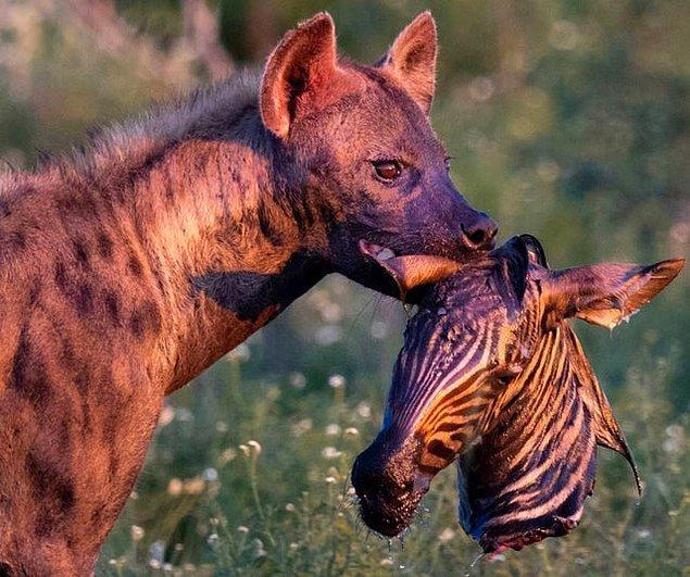 9. Yuvasına bir zebra kafası götüren korkutucu sırtlan: