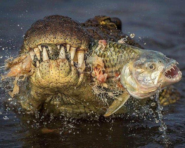 10. Pirana avlayan ürkütücü timsah: