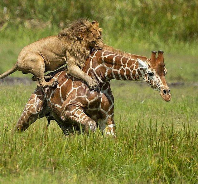11. Yetişkin bir zürafayı tek hamlede alt etmeye çalışan aslan: