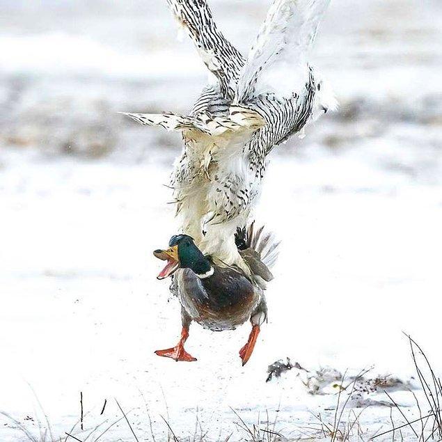 13. Ördek avlayan korkutucu kar baykuşu: