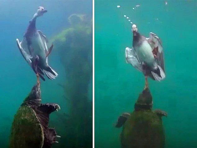 5. Bir ördeğin ayağından tutup onu denizin derinliklerine doğru çeken kaplumbağa: