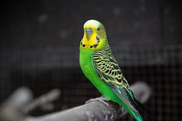 1. Bir muhabbet kuşu dakikada yaklaşık 85 gibi yüksek bir solunum hızına sahiptir