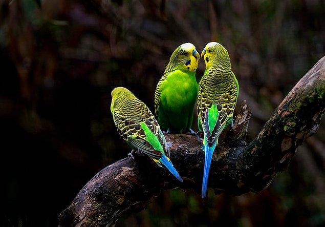 3. İngiltere'ye getirilen muhabbet kuşlarının çoğu yeşil ve sarı renklere sahiptir fakat yıllar geçtikçe bu renk çeşitliliği artmıştır.