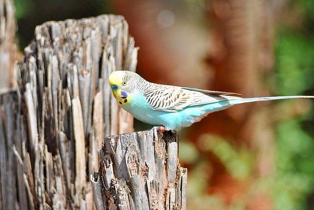5. Küçük bir kuş gibi görünen muhabbet kuşları, vücutlarında yaklaşık 3000 tüyü barındırır.