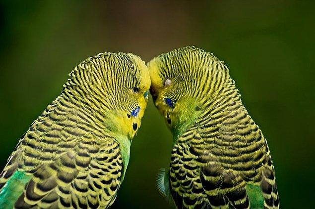 9. Muhabbet kuşlarının uçmaya yardımcı olması için hava torbalarıyla dolu oyuk kemikleri vardır.