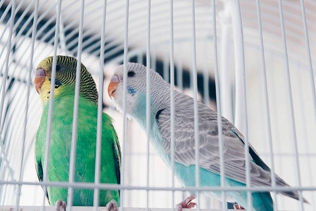 11. Bir düzineden fazla kan damlası kaybetmek bir muhabbet kuşu için ölümcüldür.