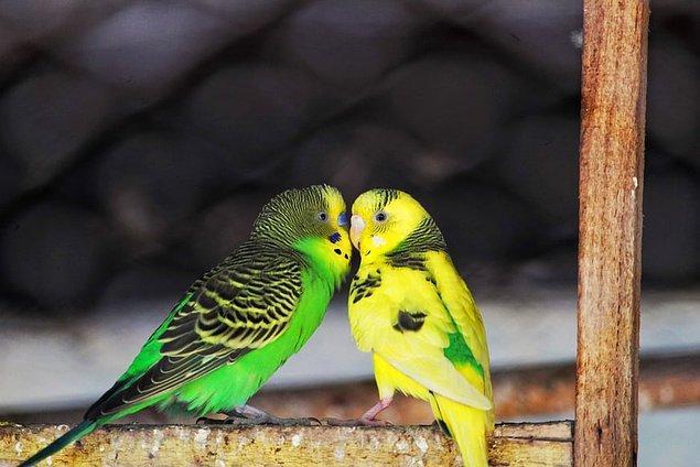 13. Muhabbet kuşlarının yumurtaları oksijen ve karbondioksit alışverişini sağlayan minik gözeneklere sahiptir.