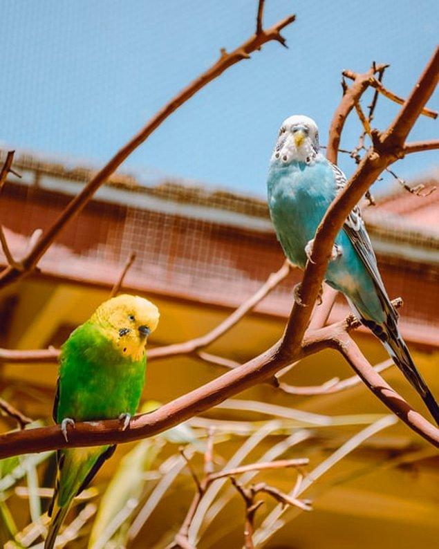 14. Mevsimleri günışığı saatleri ile algılayan muhabbet kuşları, evlerdeki yapay ışıklardan dolayı üreme mevsimleri gecikebilir.