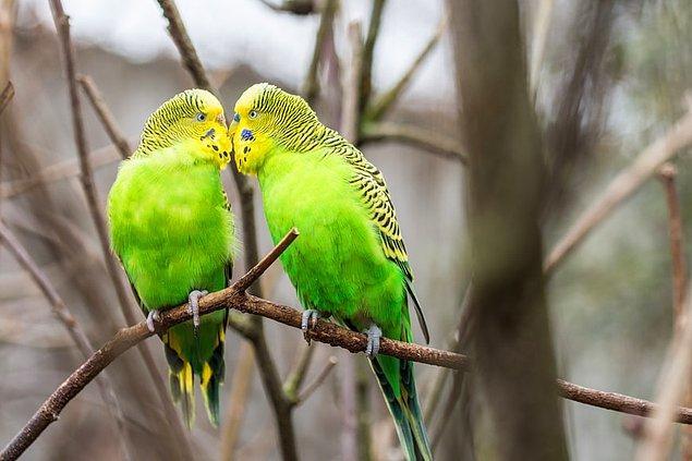 16. Her 20 dakikada dışkılarını yapan muhabbet kuşlarının kafeslerinin sürekli kirli olmasına şaşmamalı...
