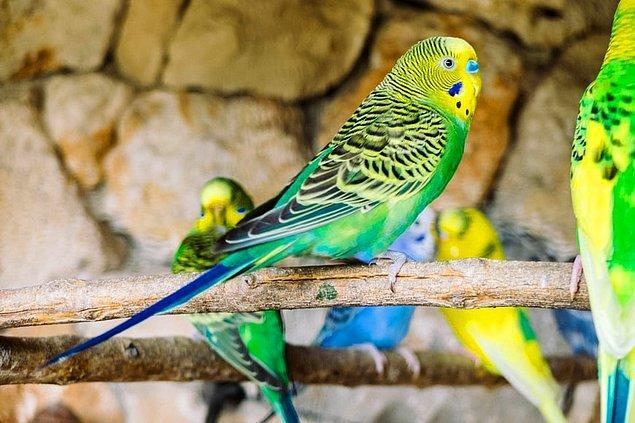 17. Ses taklitleri ile meşhur olan mubabbet kuşları hatırladıkları çoğu sesi tekrarlayabilirler.