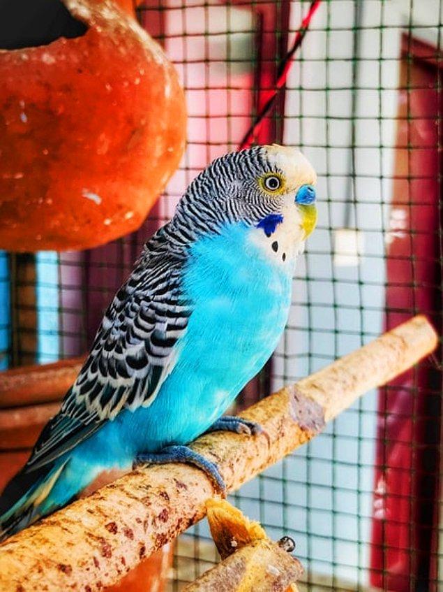 19. Çoğu muhabbet kuşu mutlaka en az birkaç kelimeyi söylemeyi öğrenirler.