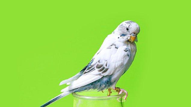 20. Matematik zihnine sahip olan muhabbet kuşları basit toplamları yapabilen ve ayrıca üçe kadar sayabilen hayvanlardır.