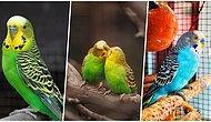 Muhabbet Kuşlarının Ne Kadar İlginç Hayvanlar Olduğunu Kanıtlayacak 20 Akılalmaz Bilgi