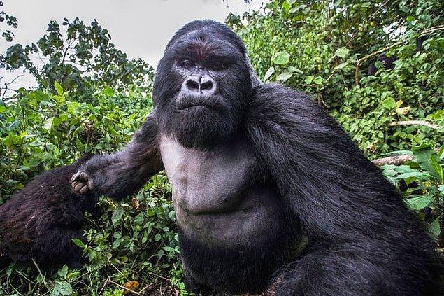 9. Dağ Gorili fotoğrafçıya bir sille indirmeden hemen önce...