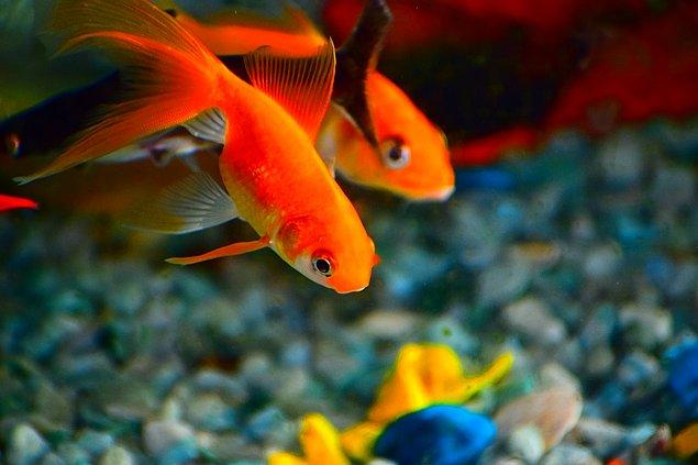 1. Japon balıklarının midesi yoktur.