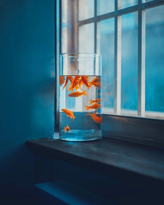 4. Japon balıklarının en az üç aylık bir hafıza gücü vardır.