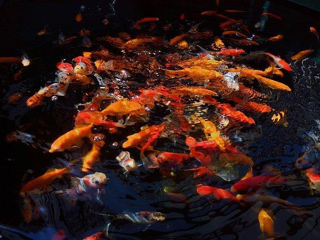 10. Japon balıkları idrar yapmazlar.