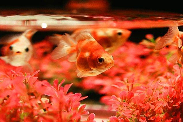 11. Bir dişi Japon balığı, tek bir yumurtlamada yüzlerce hatta binlerce yumurta bırakır.